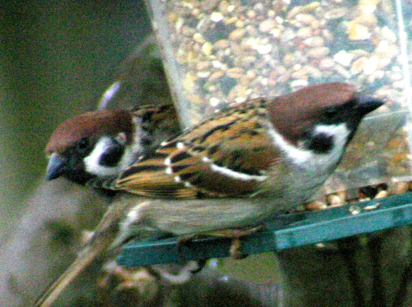 Tree Sparrows on garden feeder 2006